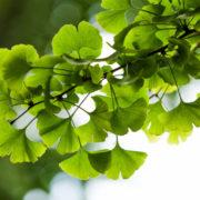 Jak pěstovat Ginkgo Biloba – Jinan dvoulaločný