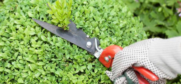Jak pěstovat zimostráz – buxus
